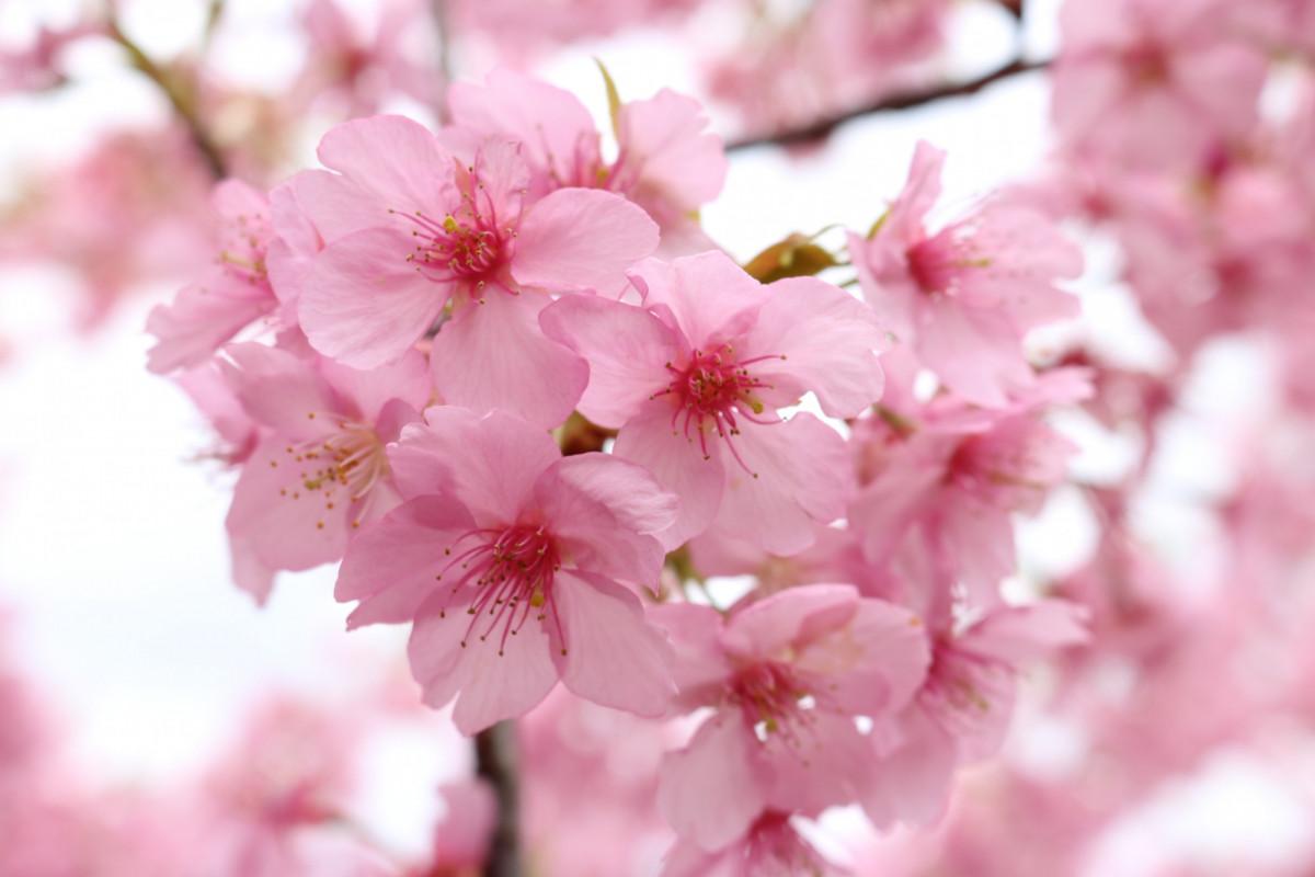 一足先にお花見‼「倉敷千本桜」の河津桜を見に行こう!!|おか旅 | 岡山 ...
